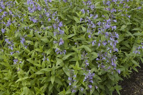 cat mint clifford e melda c snyder research and extension farm