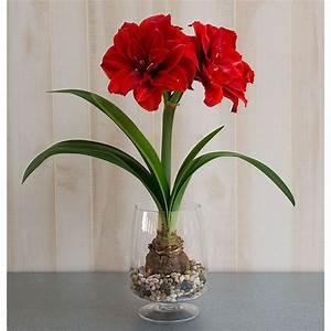 Amaryllis In Der Vase : amaryllis cherry nymph one bulb in footed glass vase ~ Lizthompson.info Haus und Dekorationen