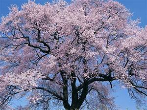 Wallpaper  Cherry Tree