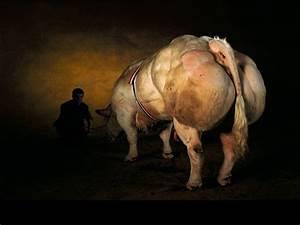 Salud Esencial Belgian Blue: aquí les va la súper-vaca sin ...