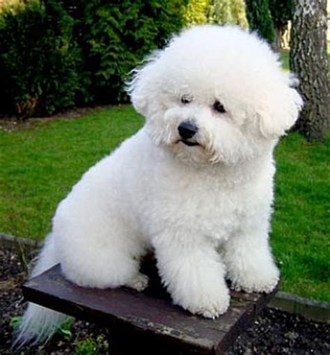 Do Bichons Shed Hair by Non Shedding Breed Bichon Frises All About Bichon