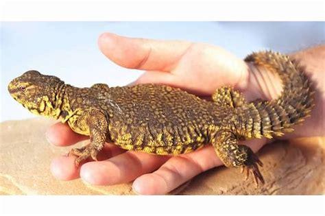 pet lizard most docile pet lizards