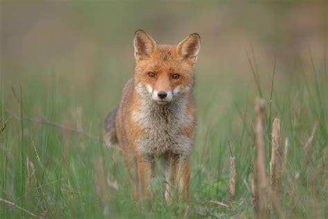 renard roux bien connaître le renard pratique fr
