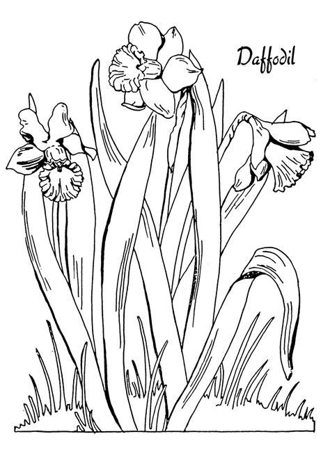 kids printable daffodil coloring page  graphics fairy