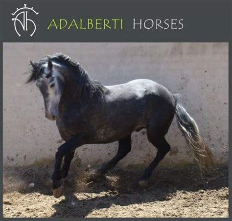 andalusian adpost horse adoption classifieds madrid pets