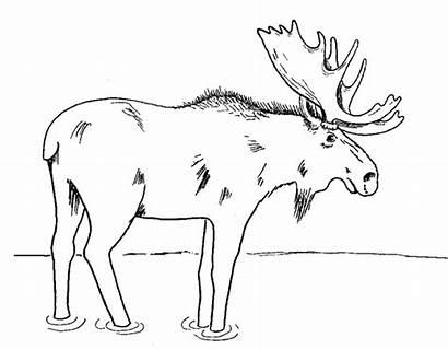 Elch Coloring Ausmalbilder Moose Malvorlagen Maine State