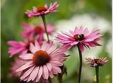 Equinácea Echinacea purpurea Jardineironet