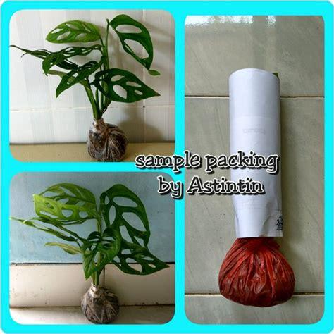 jual tanaman hias gantung philodendron monstera janda