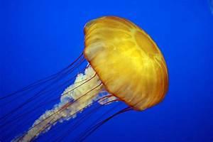 Jellyfish - Wikipedia  Jellyfish