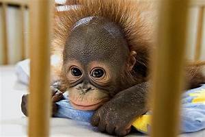 Cute Orangutan In Photos-Pictures | Funny And Cute Animals