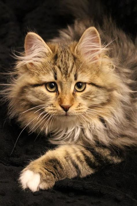 Do Maine Coons Shed by 17 Best Images About Robert Sijka On The