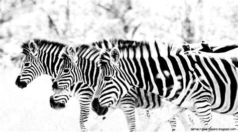 Animal Print Wallpaper Black And White - zebra print wallpaper black and white