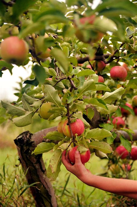 Try a new variety of apple this year   Edible Michiana