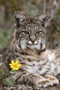 Beautiful Bobcat