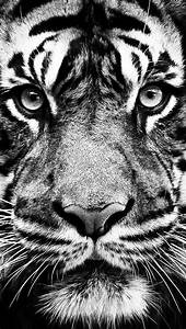 White Tiger Wallpaper Amazings 2320 - HD Wallpaper Site