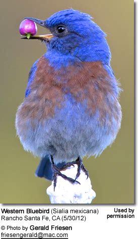 western bluebirds beauty  birds