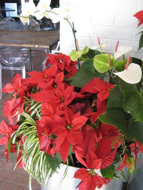 poncetta plant poinsettia care through winter and beyond hgtv