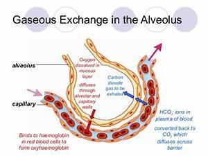 Alveoli And Blood Capillaries