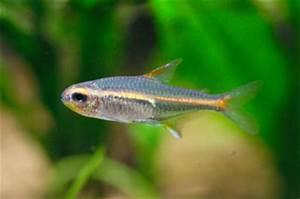 Suggested Freshwater Fish Your Your BioBubble