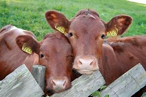 Researchers In Texas Are Cloning Cattle To Make Better
