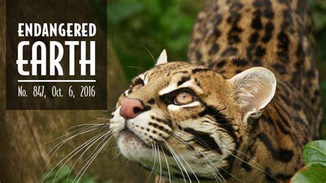 endangered earth trap endangered cats