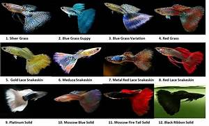 Types of Guppies - Hope Elephants