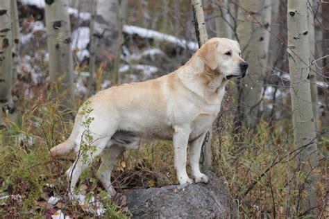 Meet Marley, The Yellow Labrador Retriever