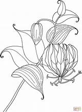 Lily Coloring Lilies Gloriosa Tropical Pages Flower Tiger Glory Drawing Printable Calla Tattoo Rothschildiana Simple Hydrangea Valley Protea Sketch Print sketch template