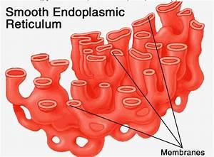 Csir Life Science Preparation  The Endoplasmic Reticulum
