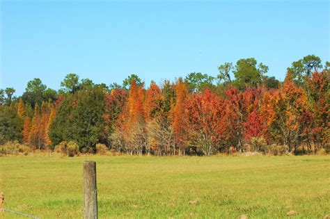 florida fall foliage fall color in florida and skunk ape season has begun