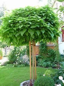 Kugel Trompetenbaum Schneiden : kugel trompetenbaum krone schneiden mein sch ner garten ~ Lizthompson.info Haus und Dekorationen