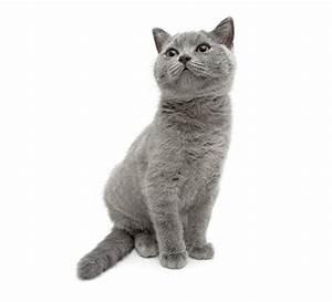 Weißer Wurm Katze : fotos katze grau tiere starren wei er hintergrund ~ Markanthonyermac.com Haus und Dekorationen