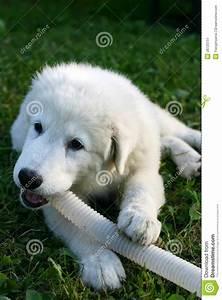 White Sheepdog Puppy Playing Stock Image - Image: 28720751