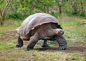 Giant Galapagos Tortoise Makes U002639miraculousu002639 Recovery From