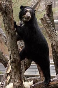 Spectacled Bears Endangered In Habitat ~ planetanimalzone