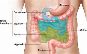 Specific Bacteria In The Small Intestine Are Crucial For