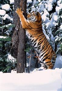 Pictures About Tigers Claws Pictures to Pin on Pinterest ...