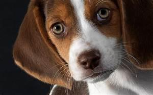 Beagle Dog Puppy Green Eyes | Jet Assure