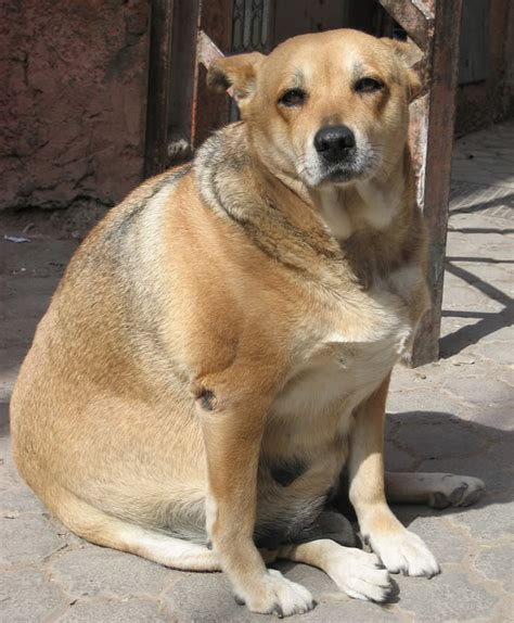 fat dog halo healthy weight food helps shed pounds