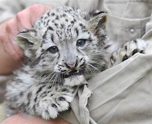 Baby Snow Leopard Pictures