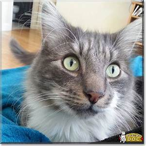 Doc - Maine Coon/Tabby mix - January 16, 2016