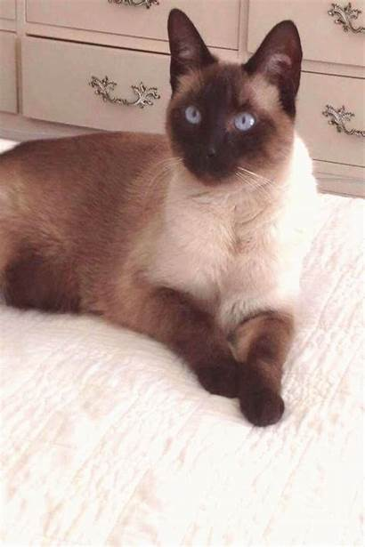 Siamese Cat Breeds Most Fall Loving Gatos
