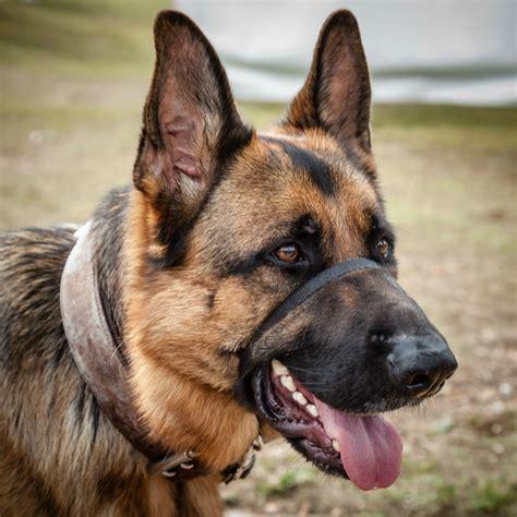 Training an Aggressive German Shepherd   ThriftyFun