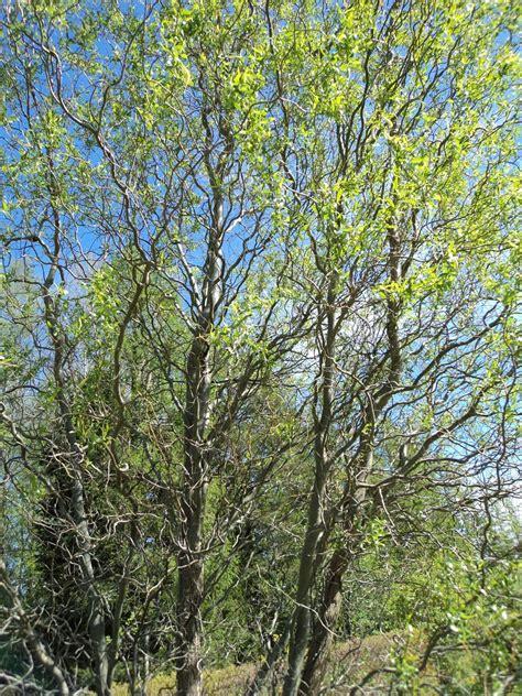 Lapu koki un krūmi - Dundagas kokaudzētava SIA Jaunemari ...