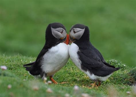puffin birds making love feathers wings pinterest