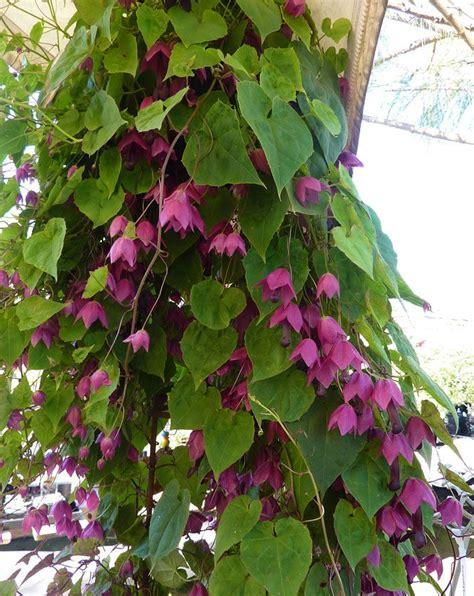 best climbing vines 156 best climbing vines images on pinterest climber plants garden plants and patio plants