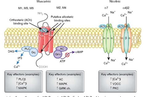 Muscarinic And Nicotinic Acetylcholine Receptor Agonists And Allosteric Modulators For The