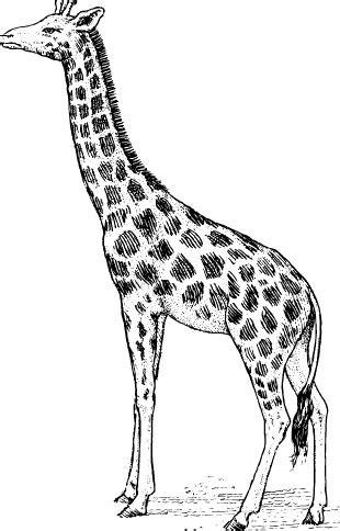 giraffe malvorlage kostenloses malbild