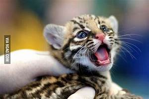 Just a baby tiger - 9GAG