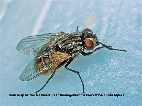 how does a house fly live get rid of house flies house fly information